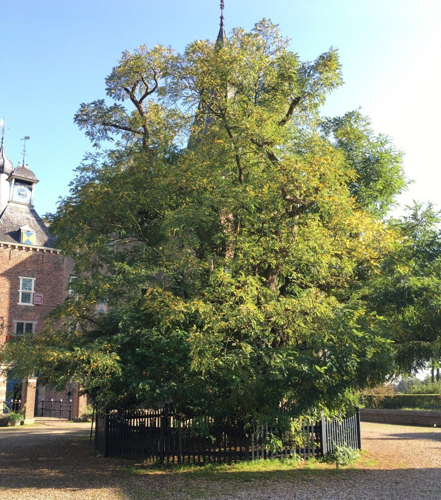 Acacia  in kasteel Doorwerth